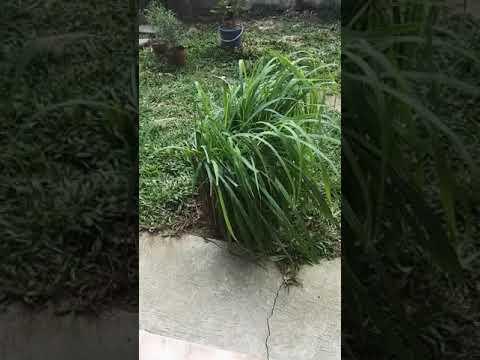 Citronella Plant - Philippines (Mosquito Repellent)