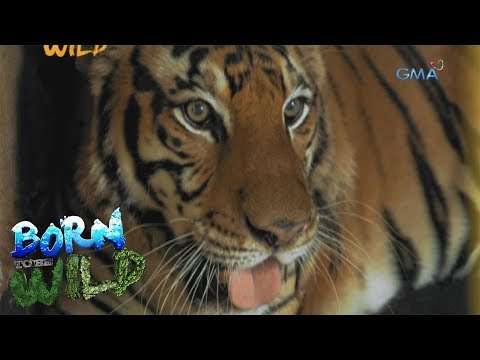 Born to Be Wild: Treating an aggressive tiger at Albay Park and Wildlife