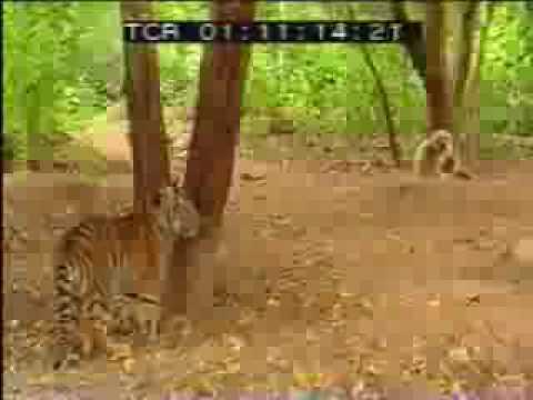 1 con khỉ đánh 2 con hổ -- ghê thật