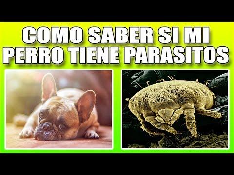 como se sabe si un perro tiene parasitos