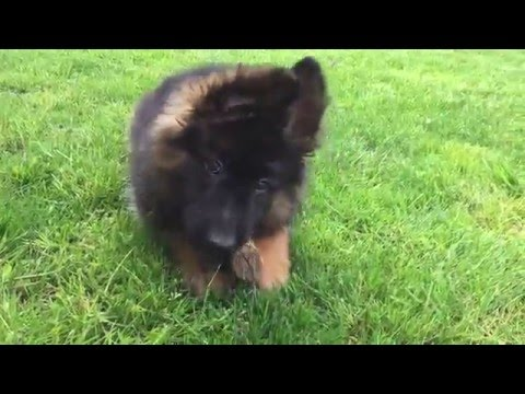 Long haired German Shepherd Dog Puppy for sale