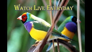 our lady gouldian finch nesting and ready for breeding live