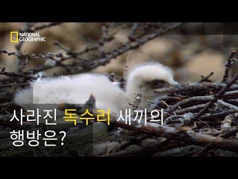 둥지에서 사라진 새끼 검독수리!