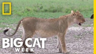 The Great Vulture Chase | Big Cat Week