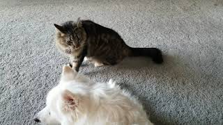 Mean playful kitty cat taunts dog