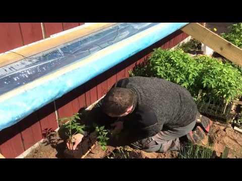 Transplanting, Cold Frame & Tomato Update - YouTube
