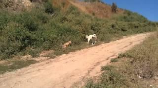 Неожиданная встреча лисы и собаки на пляже. Лиса гоняет собаку.