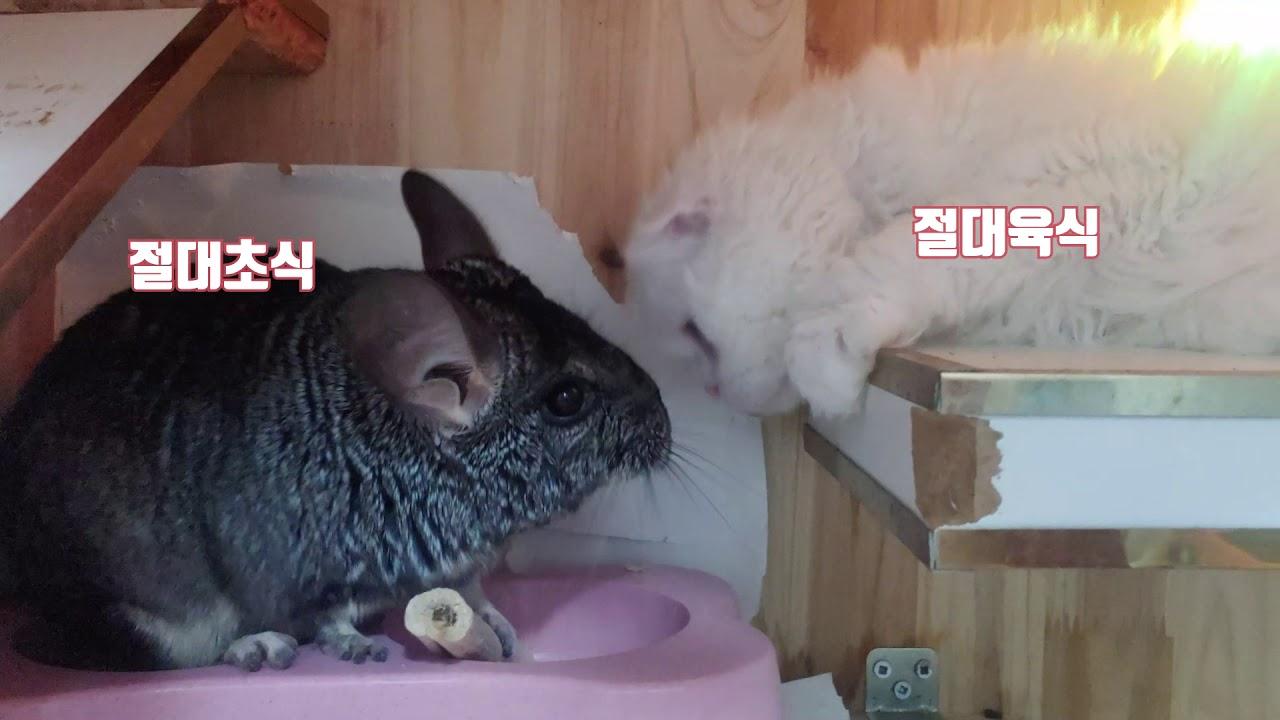 친칠라와 고양이 같이 키워도 될까? (성칠라 성묘)