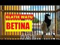 Master Glatik Watu Betina  Jitu Ubah Glatik Bisu Jadi Nyaut Gacor  Mp3 - Mp4 Download