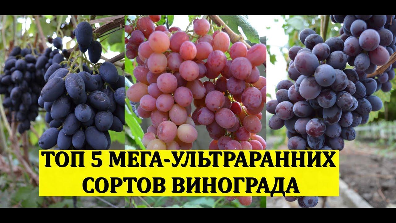 ТОП 5 МЕГА УЛЬТРАРАННИХ СОРТОВ ВИНОГРАДА! Виноградник без обработок