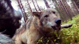 Vargar attackerar jämthundstiken Klara (wolves attack hunting dog)