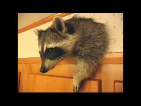 Приколы с енотами – видео с енотами смотреть в хорошем