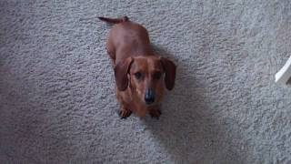 How to train a Dachshund to Sit