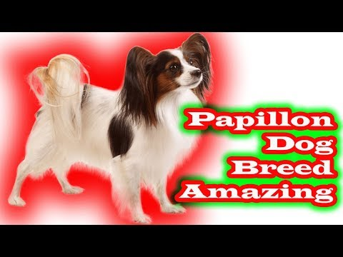 Papillon dog breed amazing