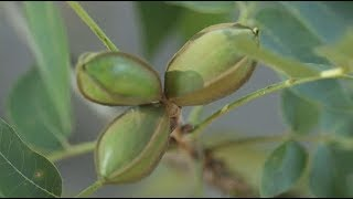 US Pecan Farming Industry Could Crack Amid Trade Tensions with China
