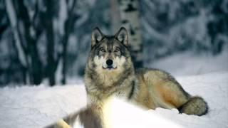 Душевный клип про волков