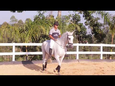 Lote 12 -Príncipe Xangai Smar - Cavalos puro sangue Lusitanos - Coudelaria aguilar