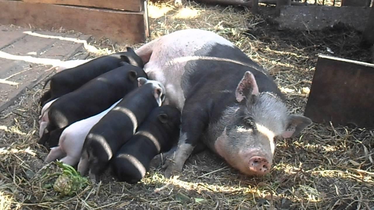 Рацион вьетнамских свиней, какие продукты желательны, какие нет.