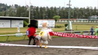 Purdys Chocolatier - 2011 Mascot Race At Hastings Racecourse - Heat 1