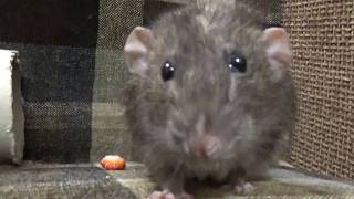 Крысы и клубника