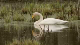 Wilde zwaan, Cygnus cygnus, Whooper Swan, Singschwan, Cygne sauvage