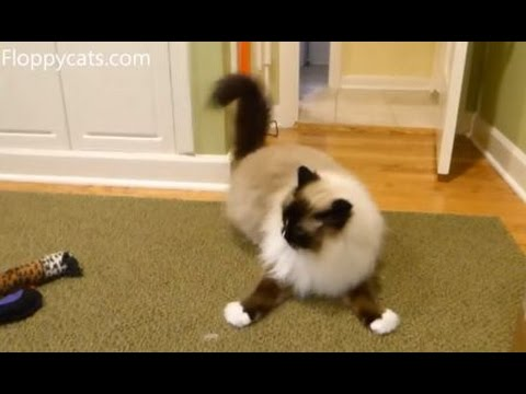Ragdoll Cats Receive Kitty Hooch Cat Catnip Toys - ねこ - ラグドール - Floppycats