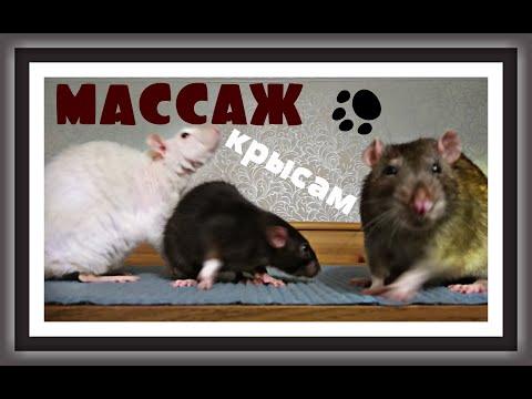 Вопрос: Может ли декоративная крыса выжить в природе При каких условиях?