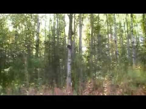 Wildcraft ~ Harvesting Siberian Chaga in Alaska