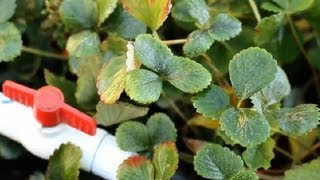 How to Use Paper Mulch on Strawberries : Strawberry Gardening