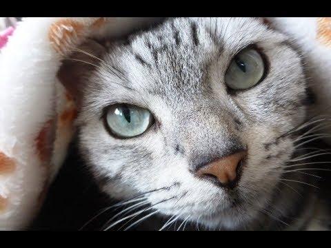 猫あめちゃん, こんなに訴えてるのに母ちゃんに届かぬ思い… だんだん切なくなってきて… -Cat