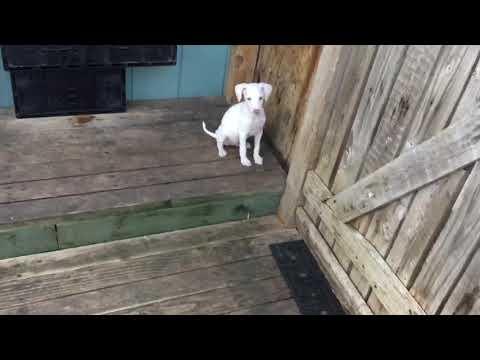 PuppyFinder.com : Sweet Italian Greyhound Puppies