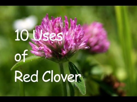 10 USES OF RED CLOVER