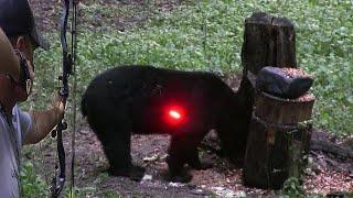 صيد الدب الاسود بالسهم🏹 بكارولينا الشماليه😱👌👍