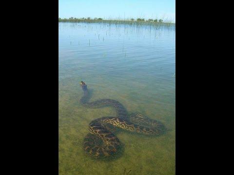 Ubatã: Cobra Sucuri no Rio de Contas