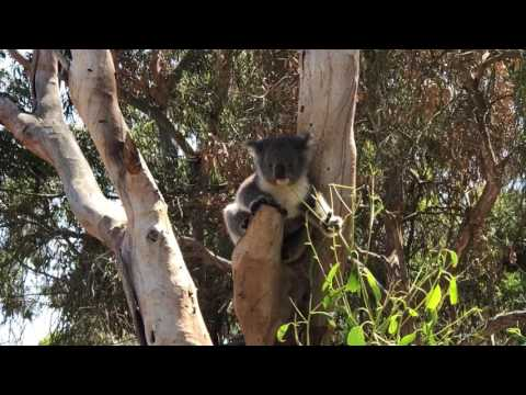 Hungry Koala on Kangaroo Island