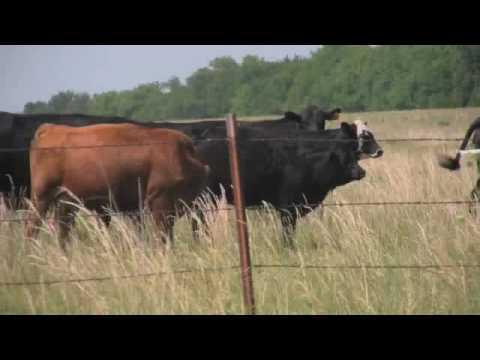Talking Animals: Cow Edition