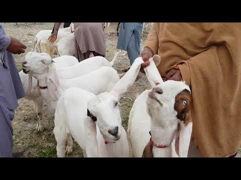 bakriyon ke rat xvideo Mein Bakre Bakre bache wali Bakri hai 03354746487