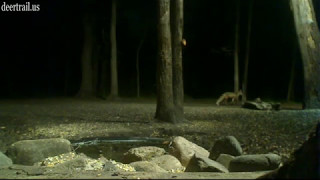 Red Fox At The Pond