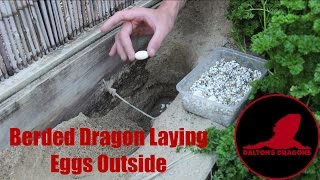 Bearded Dragon Laying Eggs Outside