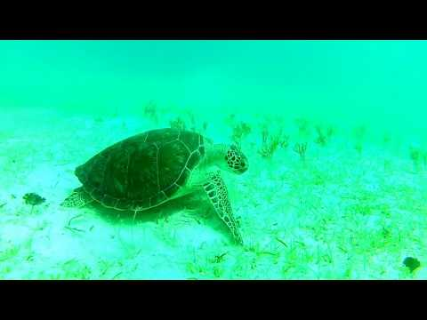 USVI - sea turtle grazing