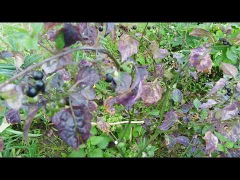 чёрный паслён очень полезная ягода