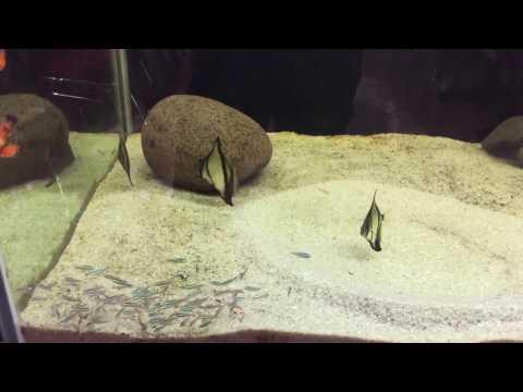 Goliath Tiger Fish, Vittatus Tiger Fish, WideBar, Monodactylus Sebae  Eating Neon Tetra