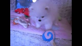 Tiny Teacup Size White Pomeranian Boy!