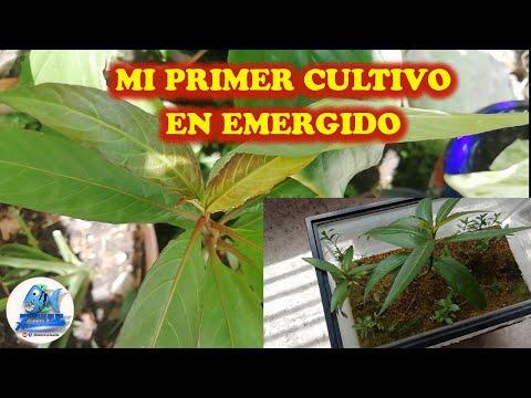 Mi Primer Cultivo en Emergido (Hygrophila Corymbosa e Hygrophila Polisperma)
