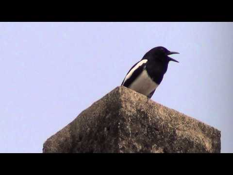 An oriental Magpie Robin known as Doyel Pakhi in Bengali Calling near our house in Kolkata