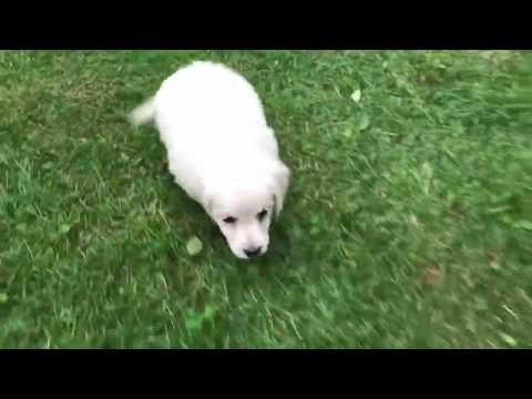 Henry Golden Doodle Puppy for sale