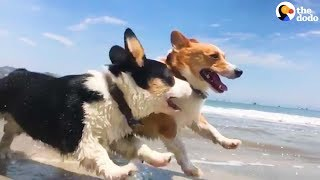 CORGI PARTY: Over 1,000 Corgi Dogs Have An Epic Beach Party | The Dodo