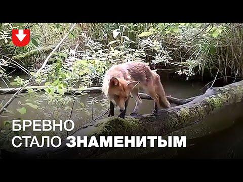 Скрытая камера в лесу сняла, как животные используют импровизированный мост