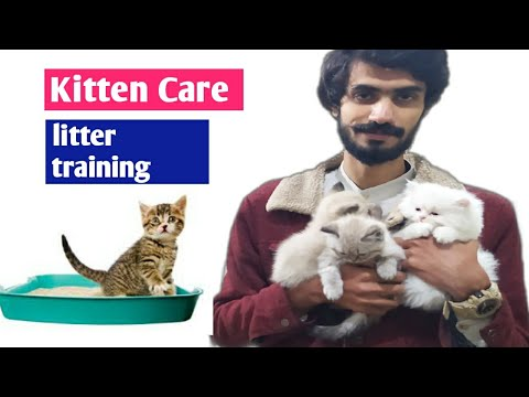 Young kittens care | kitten litter training | persian cat | best food for young kittens