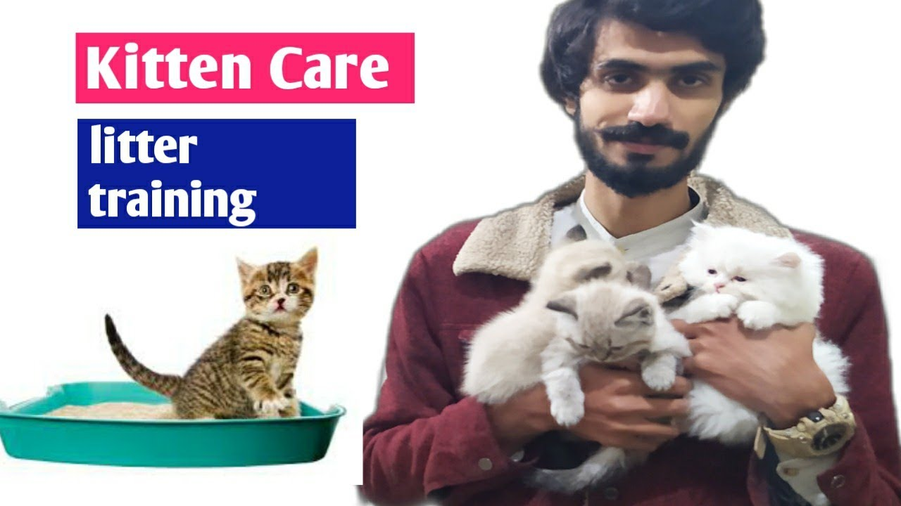Young Kittens Care Kitten Litter Training Persian Cat Best Food For Young Kittens Youtube